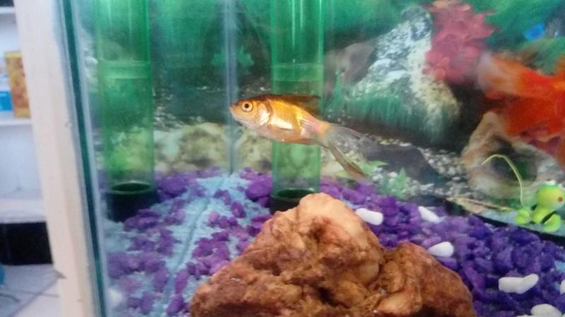 [Doença]  (PRINCIPIANTE) Peixes perdendo a cauda e morrendo 25198410