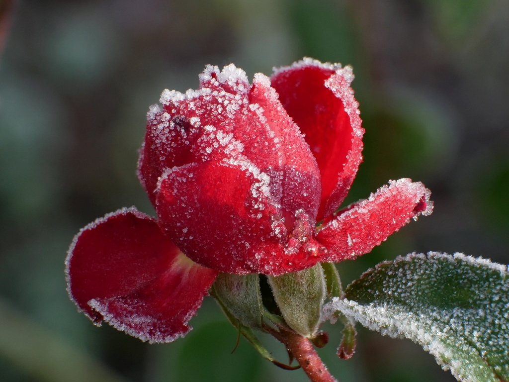 Six roses du froid P1010010