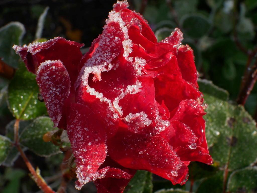 Six roses du froid P1010012