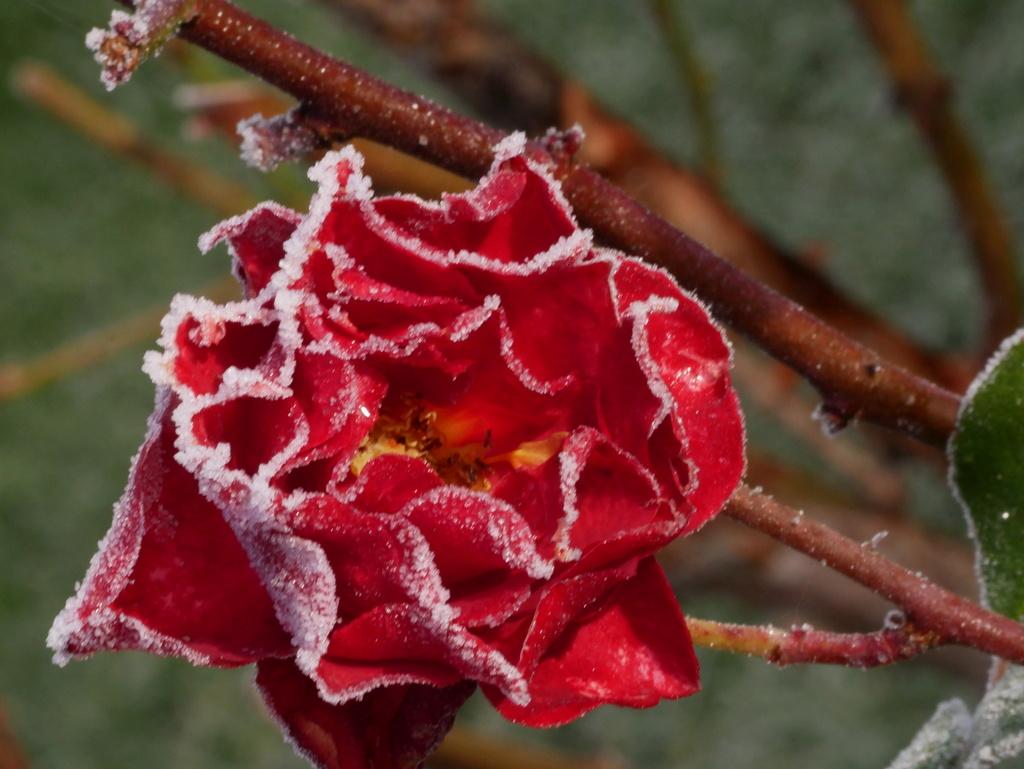 Six roses du froid P1010013