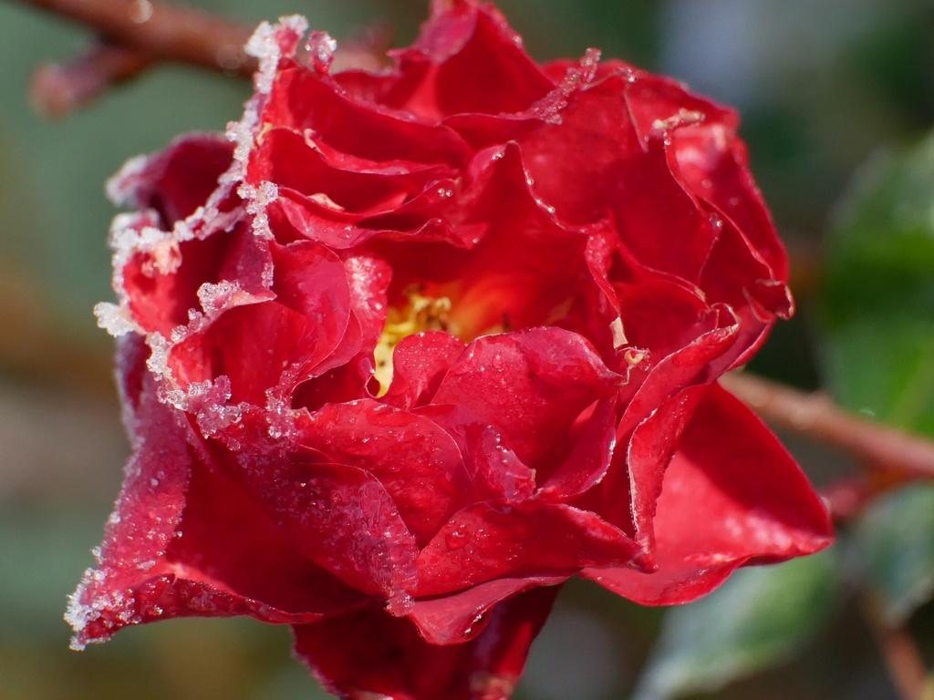 Six roses du froid P1010110