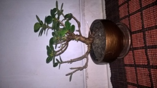 Please Help me to Identify my Ficus Wp_20118