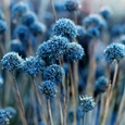 Le champs de bleuet