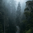 Le bois de pins