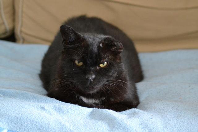 NABOU - FIV+ - Noir - Né le 01/01/2008 - En FA dans le 80 Dsc_0028