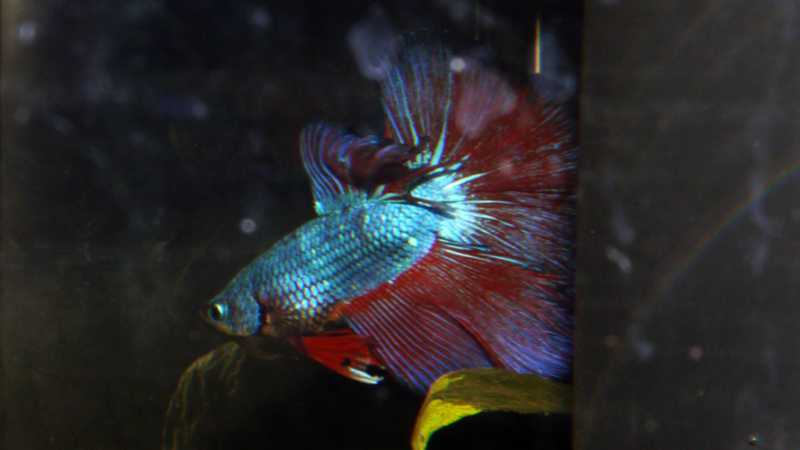 Betta HM 1M et 2F P1030010