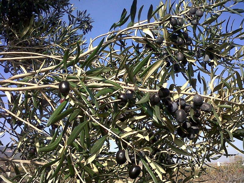 ¿Qué variedad de olivo es? Img00312