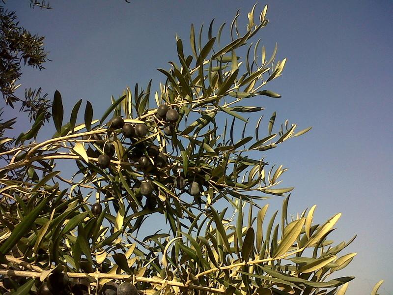 ¿Qué variedad de olivo es? Img00313