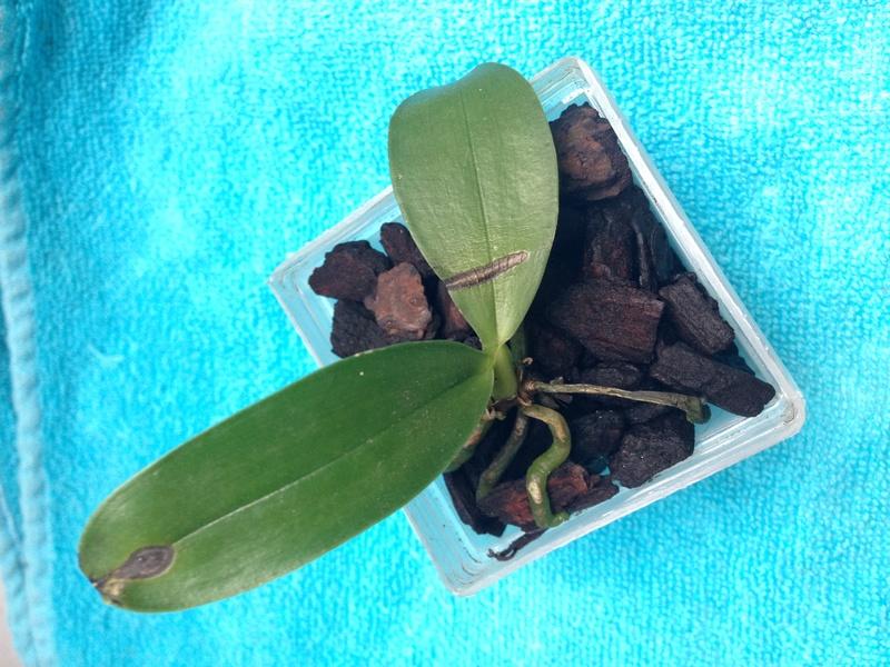 Hilfe bei Phal. Hybride Jungpflanze Img_2212