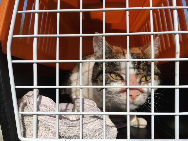 Trouvée à Blagnac chatte tricolore Img_0714