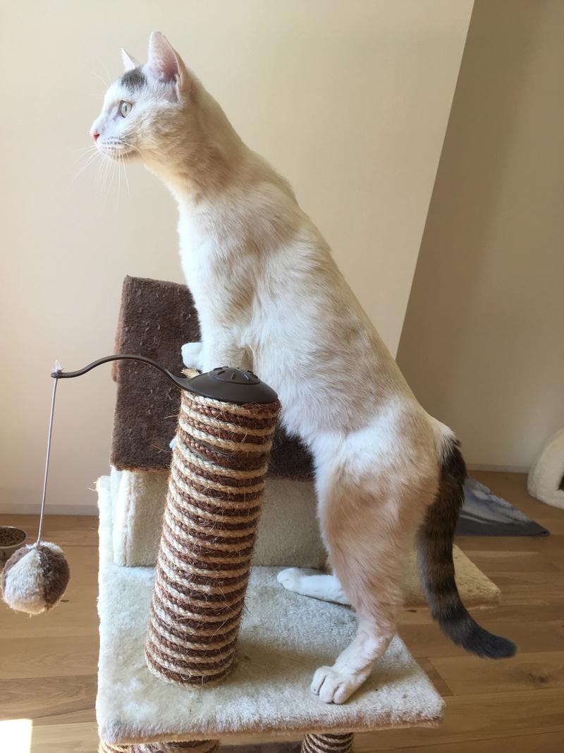 Trouvé chat blanc et marron à Colomiers Img_2517