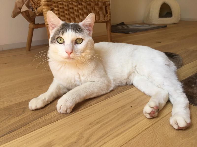 Trouvé chat blanc et marron à Colomiers Img_2518