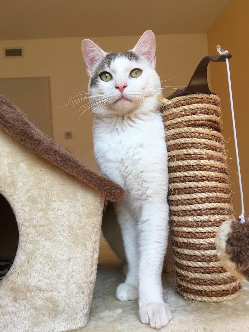 Trouvé chat blanc et marron à Colomiers Img_2521