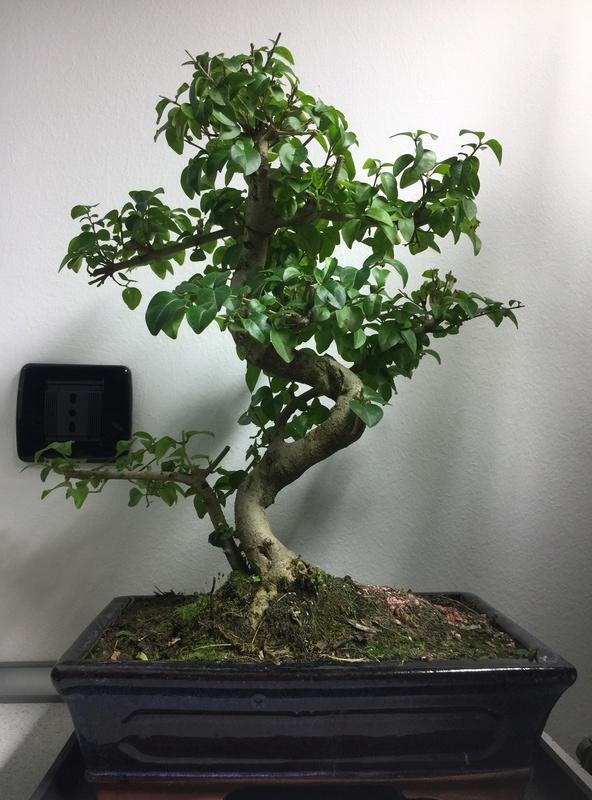 Primo bonsai, Ligustrum Sinensis Img_5113
