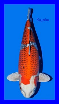 bassin de jardin, nénuphars, lotus, koi, poisson, plantes aquatiques - Portail Hikari17