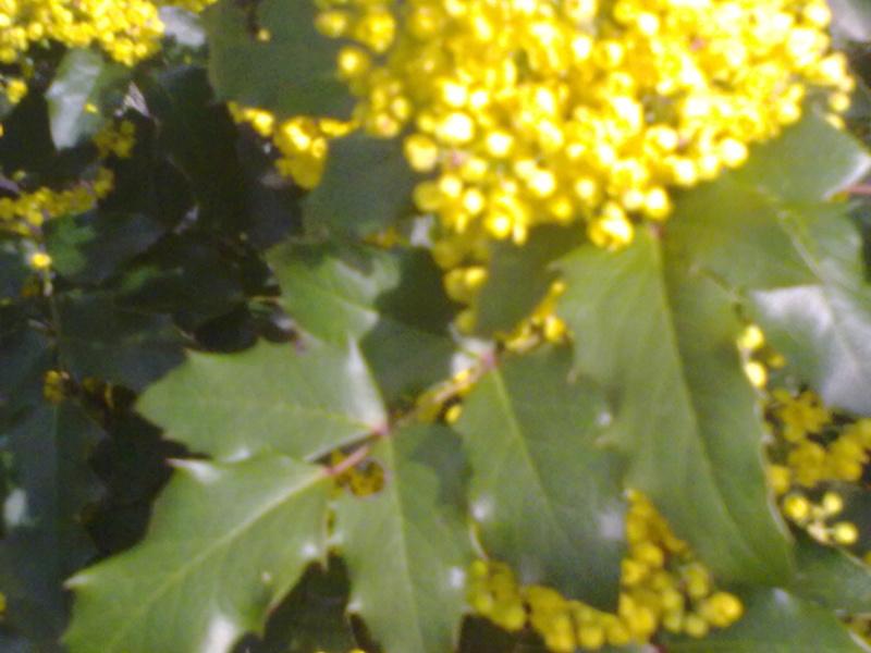 Mahonia(Mahonia aquifolium) Mahoni10