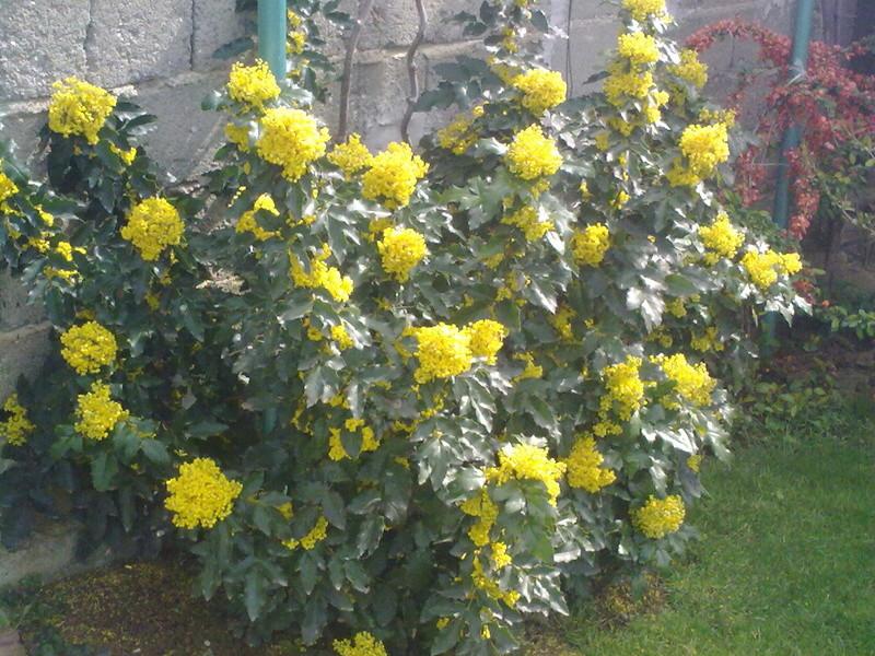 Mahonia(Mahonia aquifolium) Mahoni11