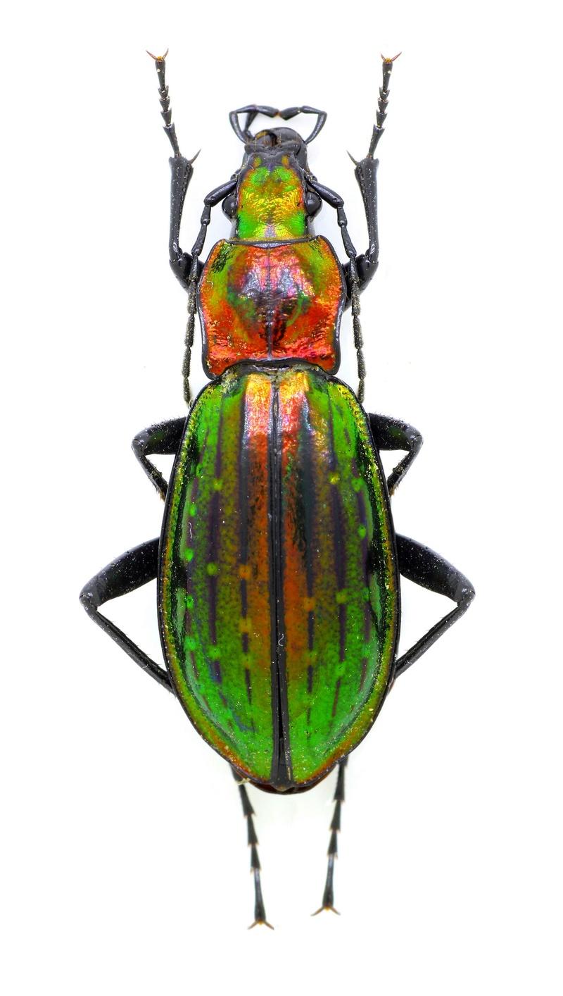Introduction de Chrysocarabus lineatus à Najac (12) D10