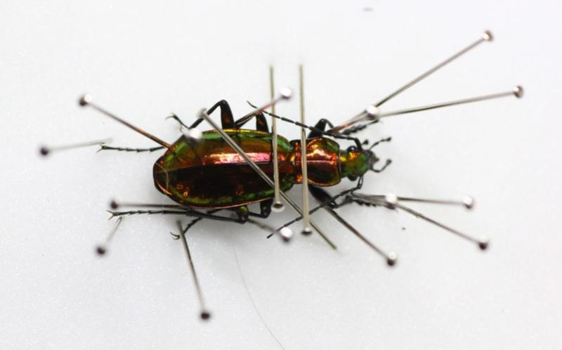 Introduction de Chrysocarabus lineatus à Najac (12) Img_8715