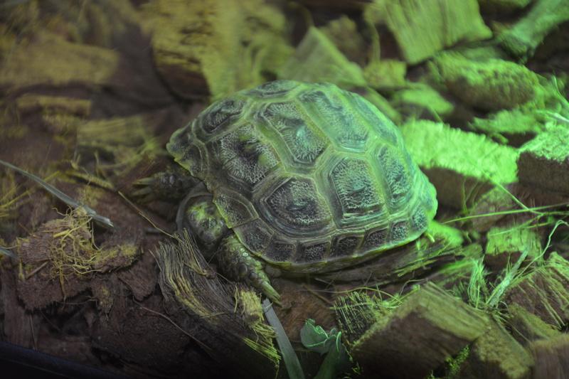 je viens d'acheter une tortue HORSFIELDII juvénile  Dsc_0012