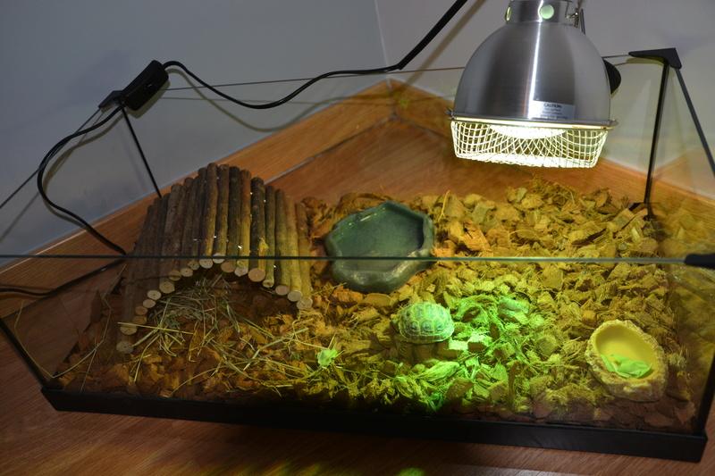 je viens d'acheter une tortue HORSFIELDII juvénile  Dsc_0013