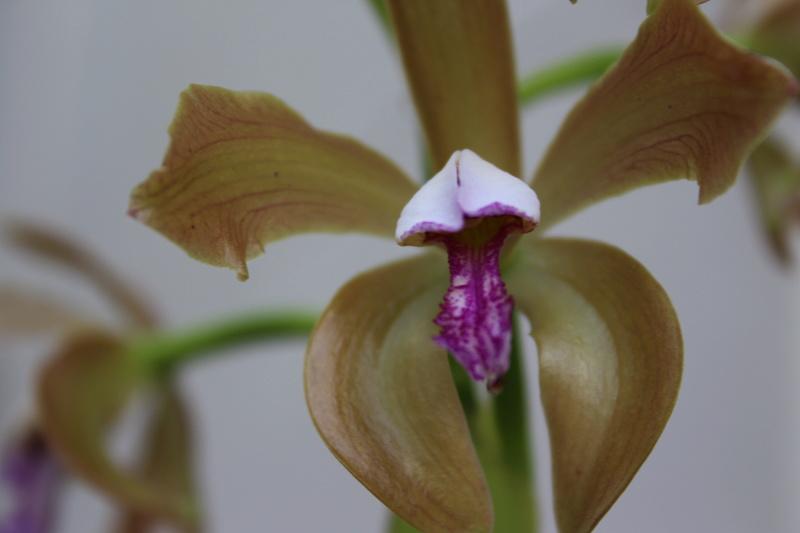 Cattleya porphyroglossa virosé? Cd_or116