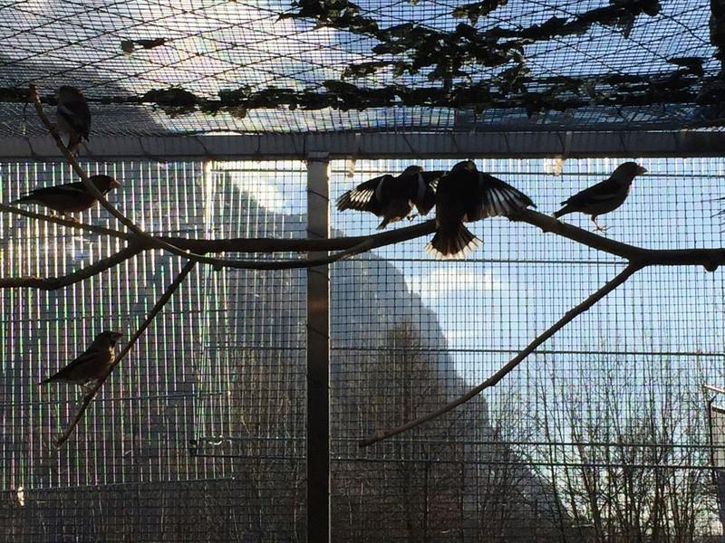 Mes oiseaux et mes installations d'élevage Img_0119