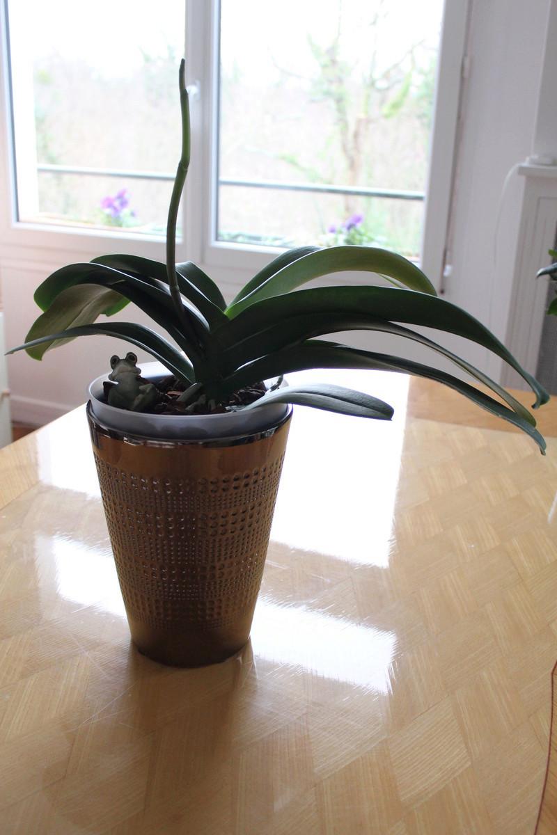 Tige fendue sur Phalaenopsis Img_3712