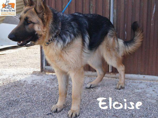 ELOISE (devenue HELA) - BERGER ALLEMAND - ES (Sole) 28577311
