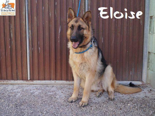 ELOISE (devenue HELA) - BERGER ALLEMAND - ES (Sole) 28577810