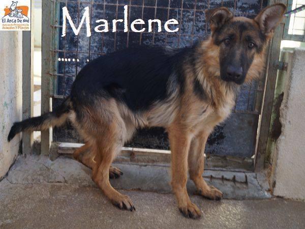 MARLENE (devenue NAIS) - BERGER ALLEMANDE - EN FA PROCHE DE MONTPELLIER 29595210
