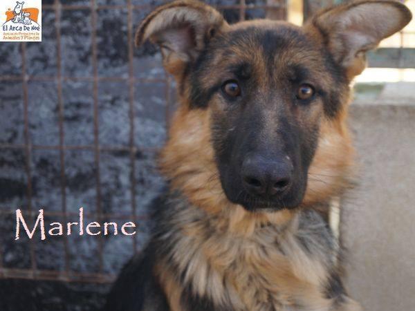 MARLENE (devenue NAIS) - BERGER ALLEMANDE - EN FA PROCHE DE MONTPELLIER 8394_110