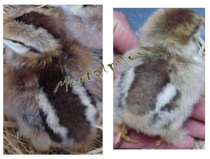 Identification poussin poule soie Compar10