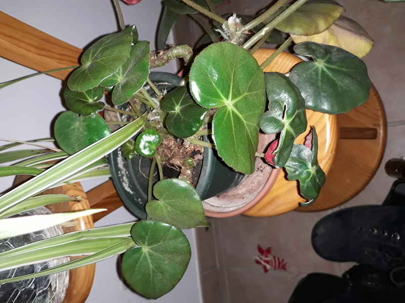 Begonia erythrophylla ? 20180113