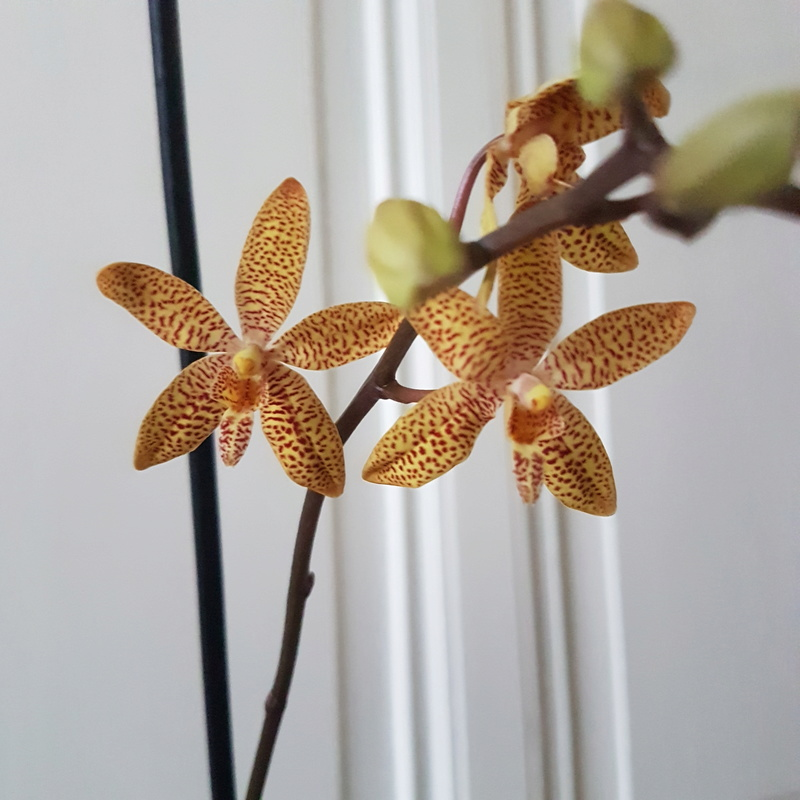Orchideen-Neuzugang - Seite 40 2018-018