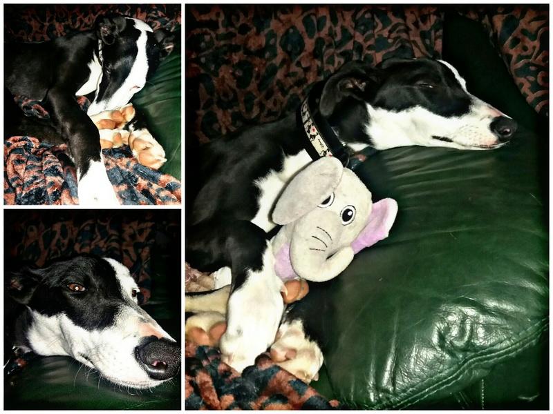 """Aragon petit galgo de 4 mois à l'adoption """"Scooby France Adopté  Picsar10"""