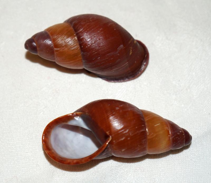 Chrysallis nigriceps (Bartsch, 1932) Dsc03326