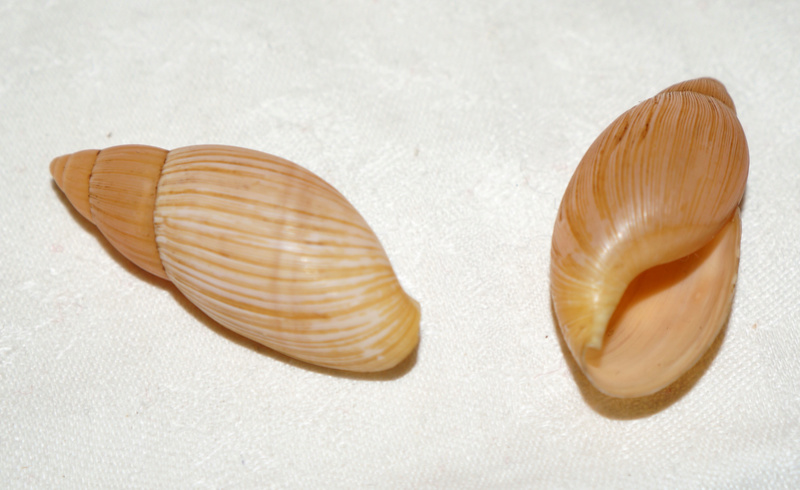 Euglandina rosea (Férussac, 1821) Dsc03331