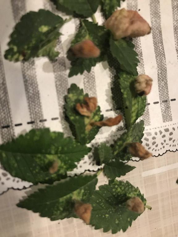 strane protuberanze con macchie bianche sulle fogliedel mio olmo Foglie10