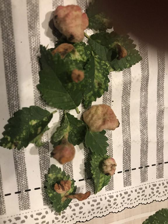 strane protuberanze con macchie bianche sulle fogliedel mio olmo Foto_f10