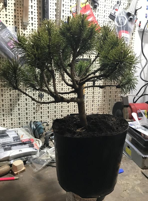 corretto approvvigionamento attrezzatura di coltivazione dei bonsai Img_1219