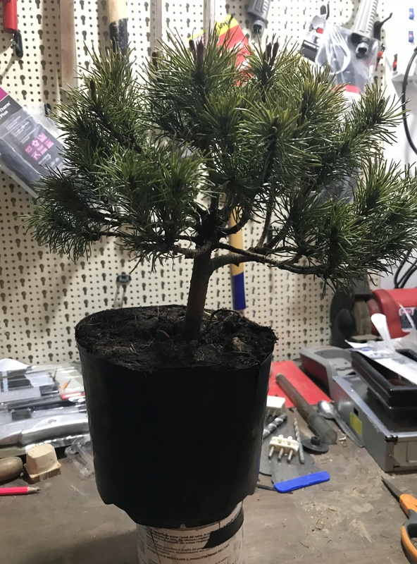 corretto approvvigionamento attrezzatura di coltivazione dei bonsai Img_1220