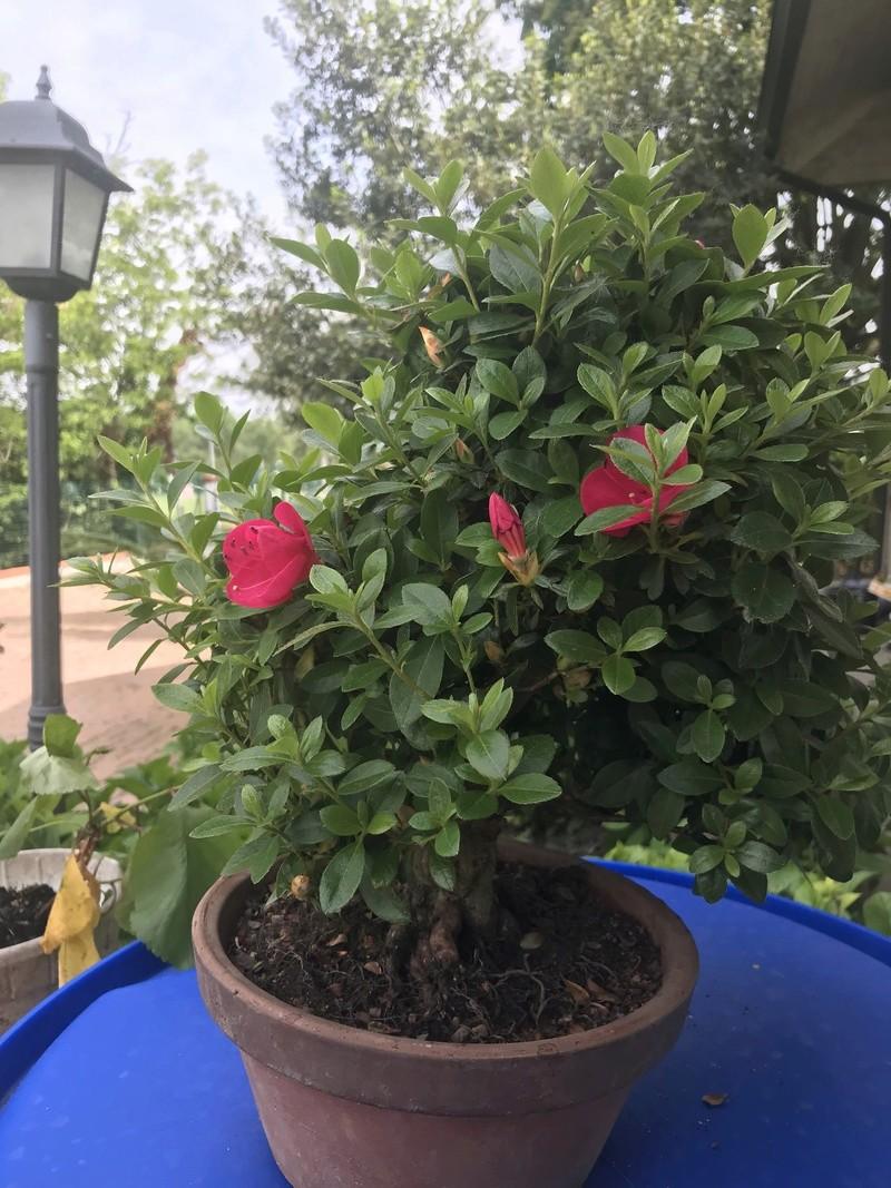 migliore innaffiatura e concimazione per l'azalea bonsai Img_1616