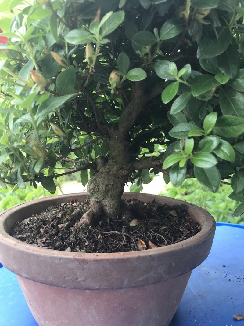 migliore innaffiatura e concimazione per l'azalea bonsai Img_1618
