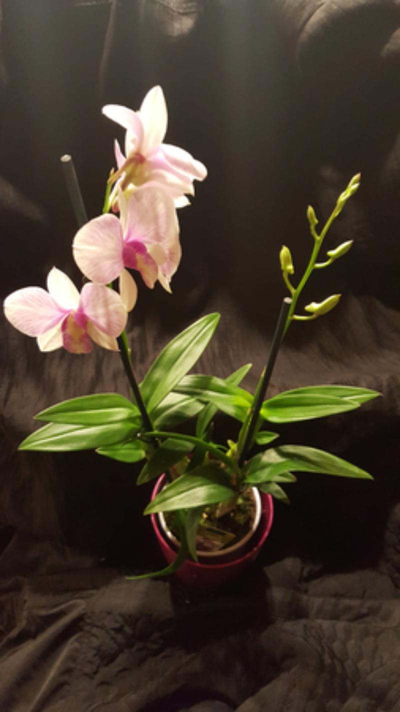 Orchideen-Neuzugang - Seite 41 20180210
