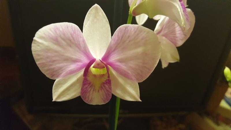 Orchideen-Neuzugang - Seite 41 20180211