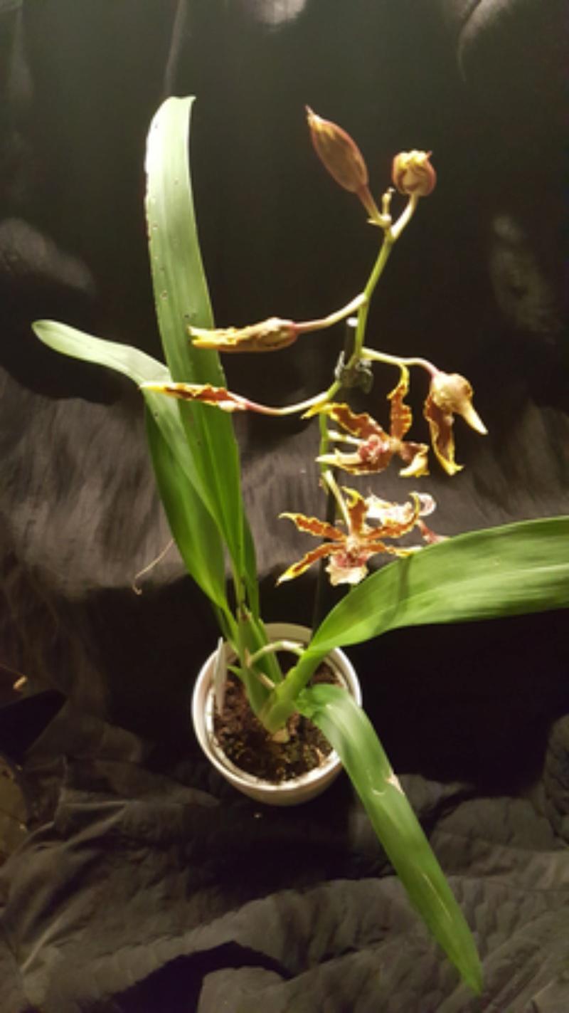 Orchideen-Neuzugang - Seite 41 20180212