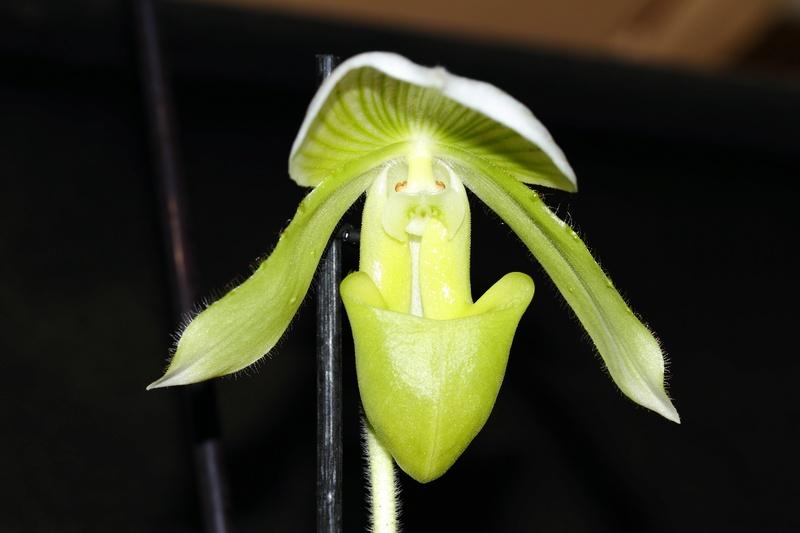 Orchideen-Neuzugang - Seite 39 Img_8710
