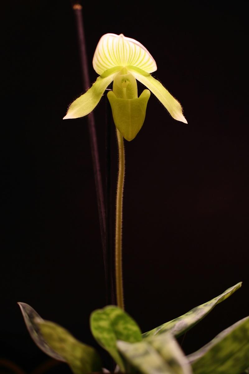 Orchideen-Neuzugang - Seite 39 Img_8711