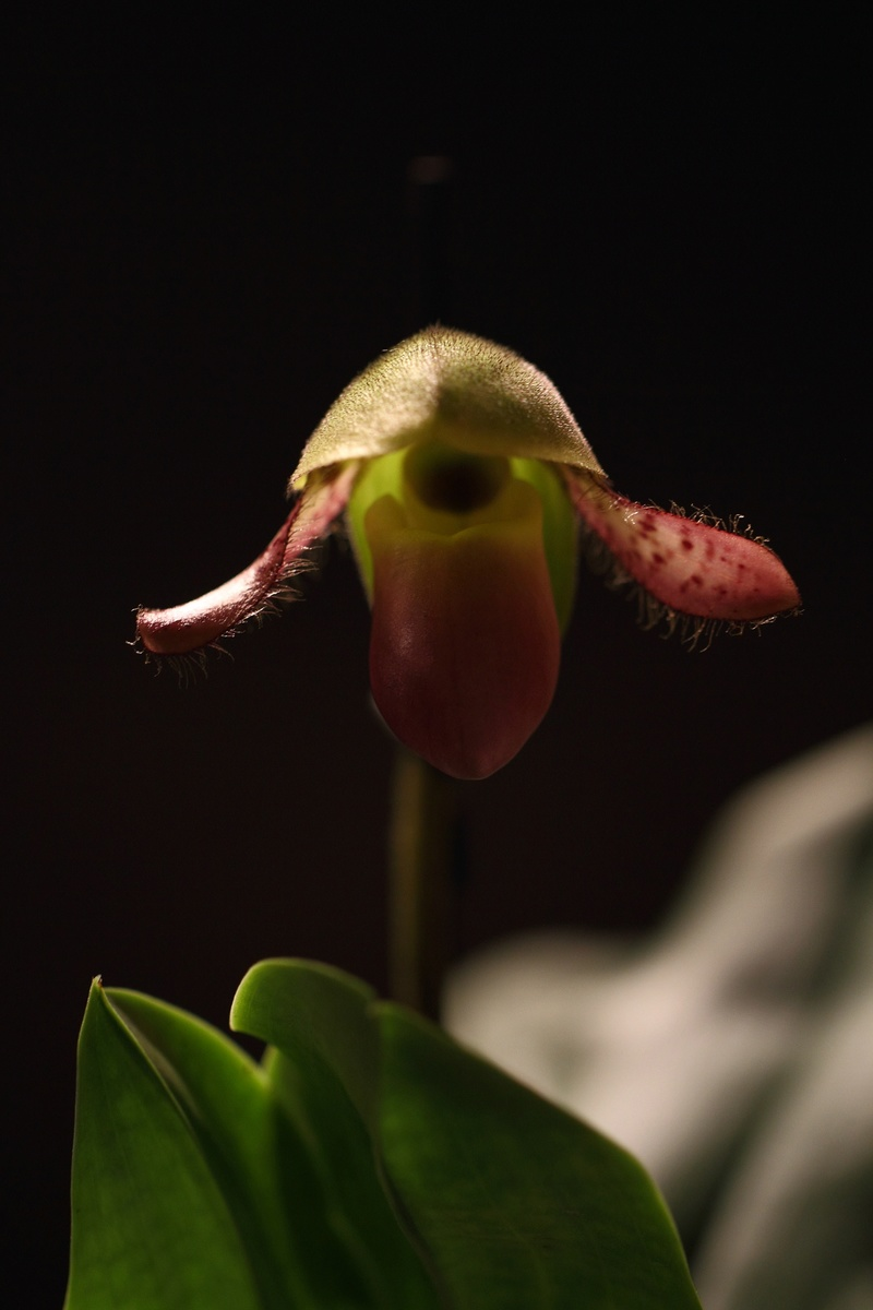Orchideen-Neuzugang - Seite 39 Img_8713